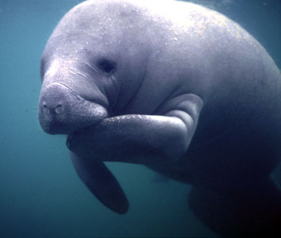 Cute-Adult-Manatee-1